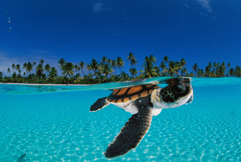 Verified Green sea turtles are not named for the color of their scales ...